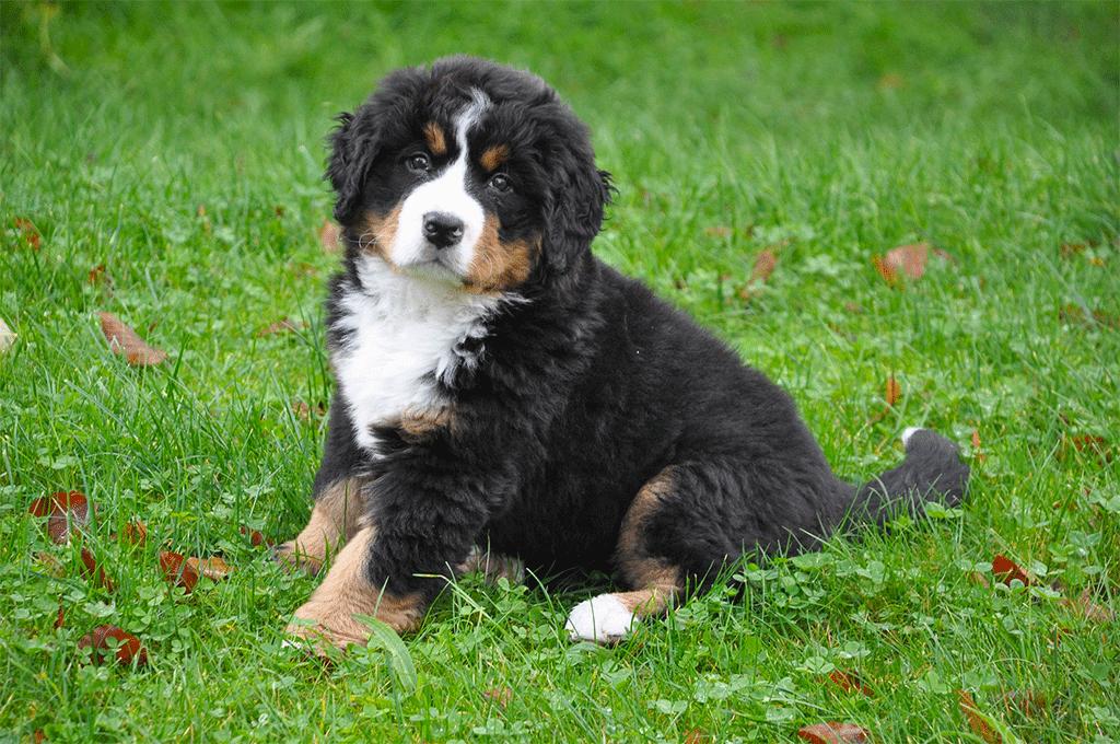 MindandBeauty.nl Berner Sennen puppy maart 2019
