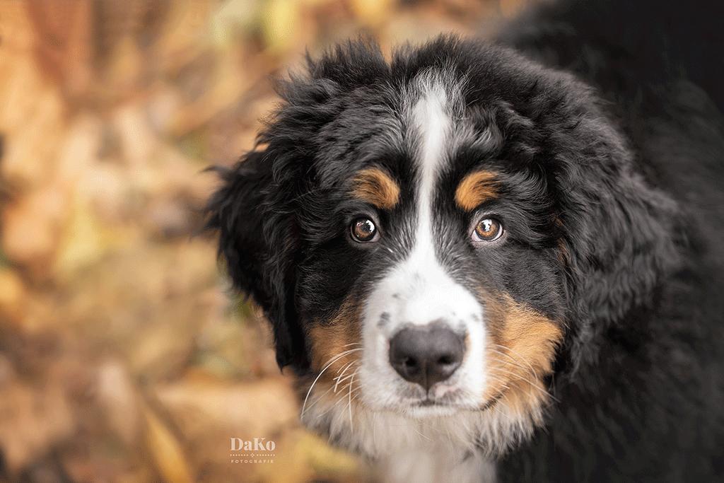 Berner sennen puppy fotoshoot DaKo Fotografie MindandBeauty.nl