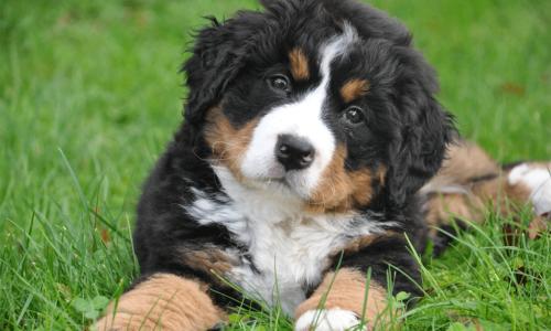 Leuke ontwikkeling: we zoeken een Berner Sennen puppy!