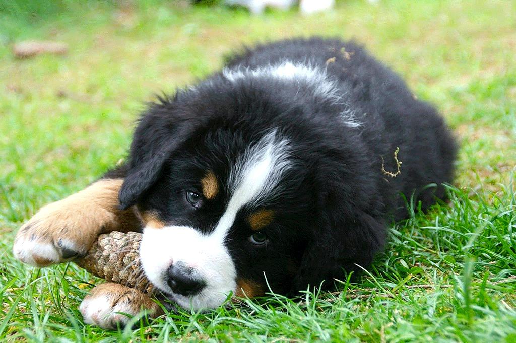 MindandBeauty.nl Berner Sennen puppy