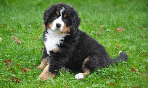 Berner Sennen puppy – (P)update april 2019