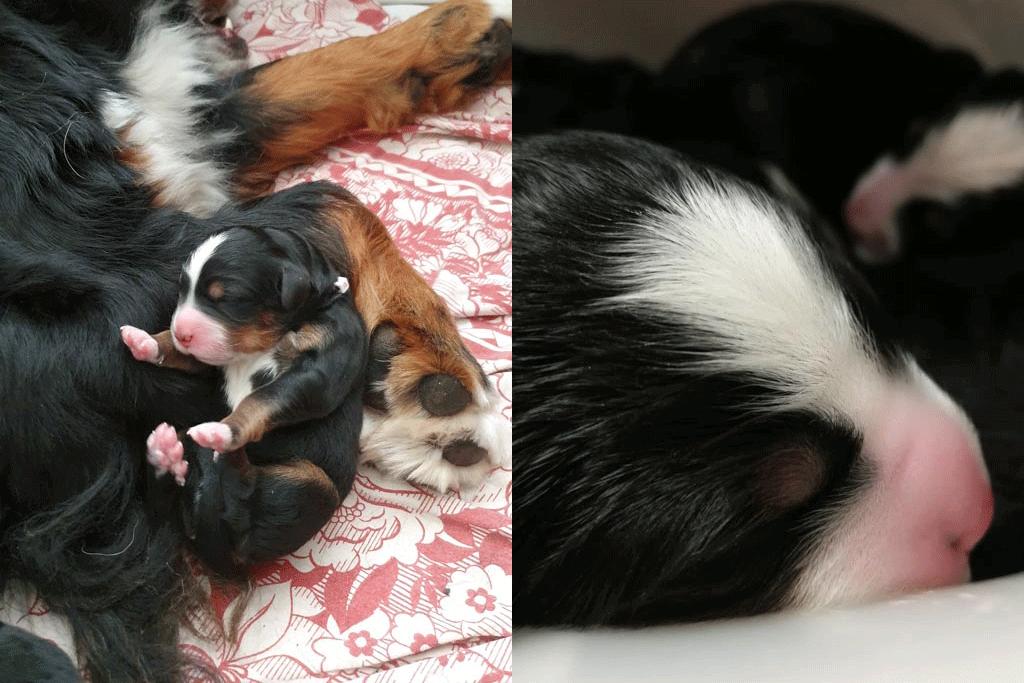 Berner Sennenhond met puppies