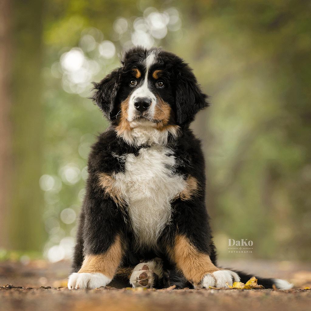 Berner sennen puppy Bollie