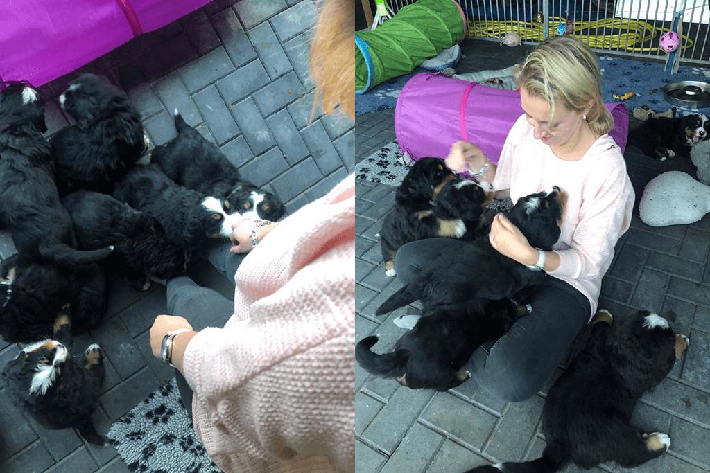 Berner sennen puppy's