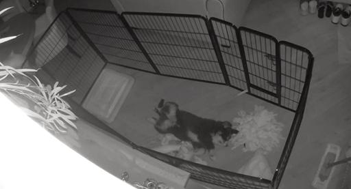 Berner sennenpuppy slapend in puppyren in woonkamer