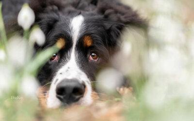 Berner Sennen Puppy – (P)update maart 2020