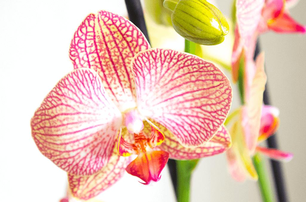Orchidee Ravello van Het beste van de kweker